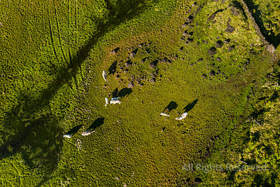 Aerial Image of Cattle Grazing in the Almost Dry Lake of Lagoa Do Paul at Planalto Da Achada Central Plateau of Ilha Do Pico ...