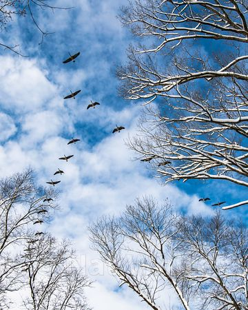 Geese_in_flight-15_January_14_2019_