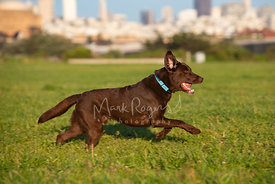 Chocolate Lab Running in Profile on Grass