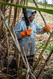 Woman working in sugar cane field