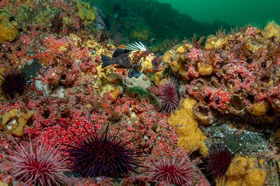 Quillback Rockfish, Sebastes maliger, over a coldwater reef of encrusting sponge and Strawberry Anemone in Discovery Passage.