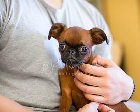 Close-up of Brussels Griffon Puppy Being Petted