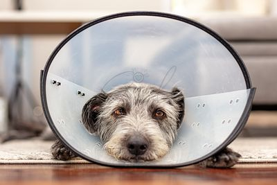 Sad Injured Dog Wearing Protective Recovery Cone