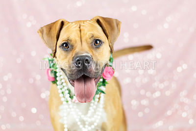 Boxer mix wearing flowers and pearls close up