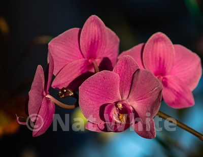 Phalaenopsis_sunrise-January_07_2021_NAT_WHITE