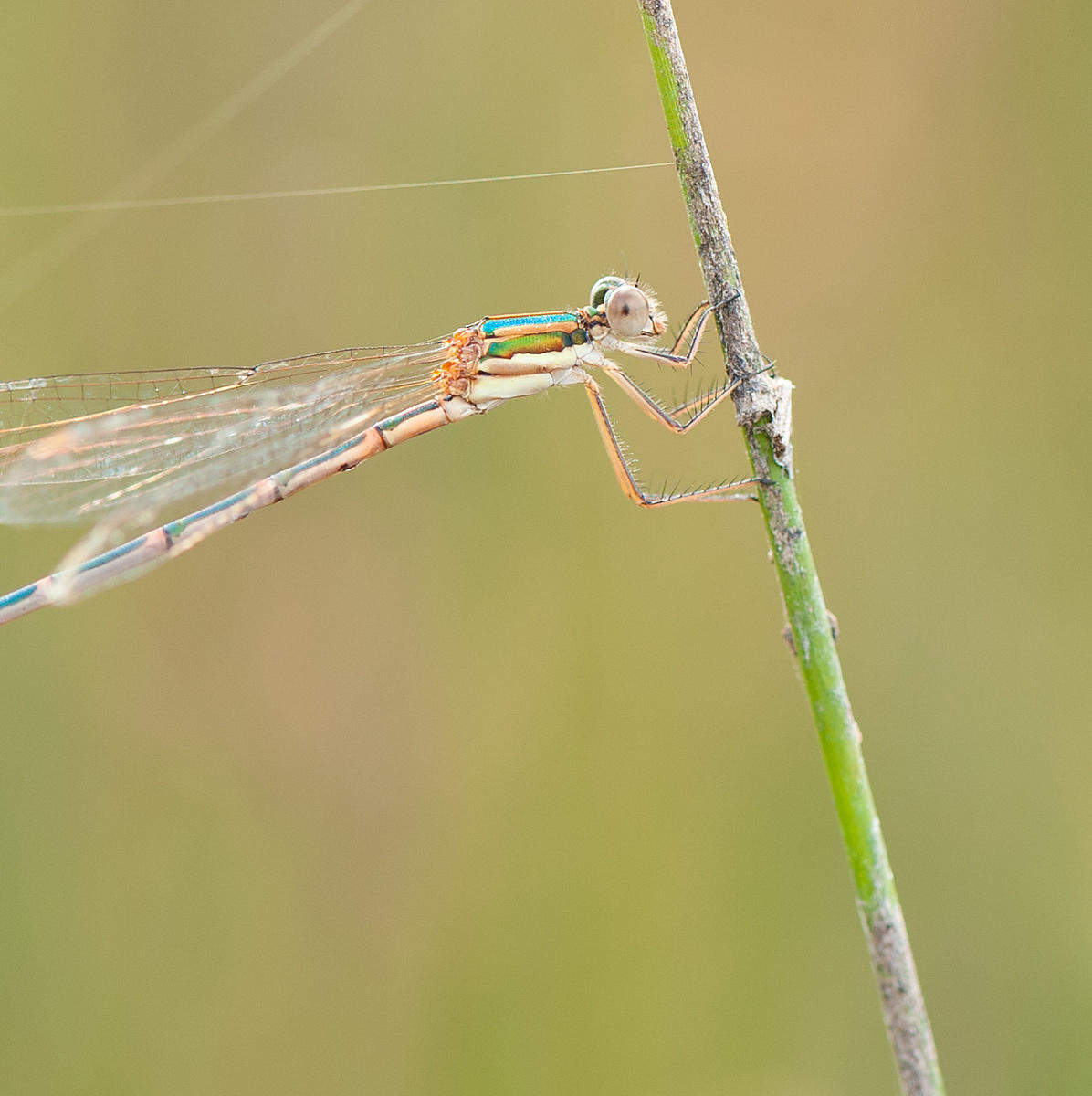 damselfly_eye_infocus-1