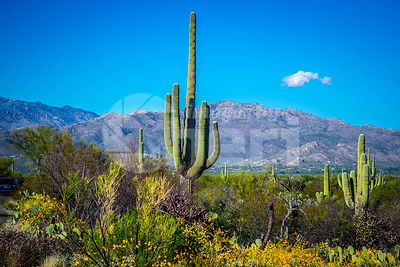 A long slender Saguaro Cactus in Saguaro National Park, Arizona