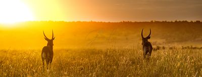 Waterbuck in Africa Golden Sunset Web Header