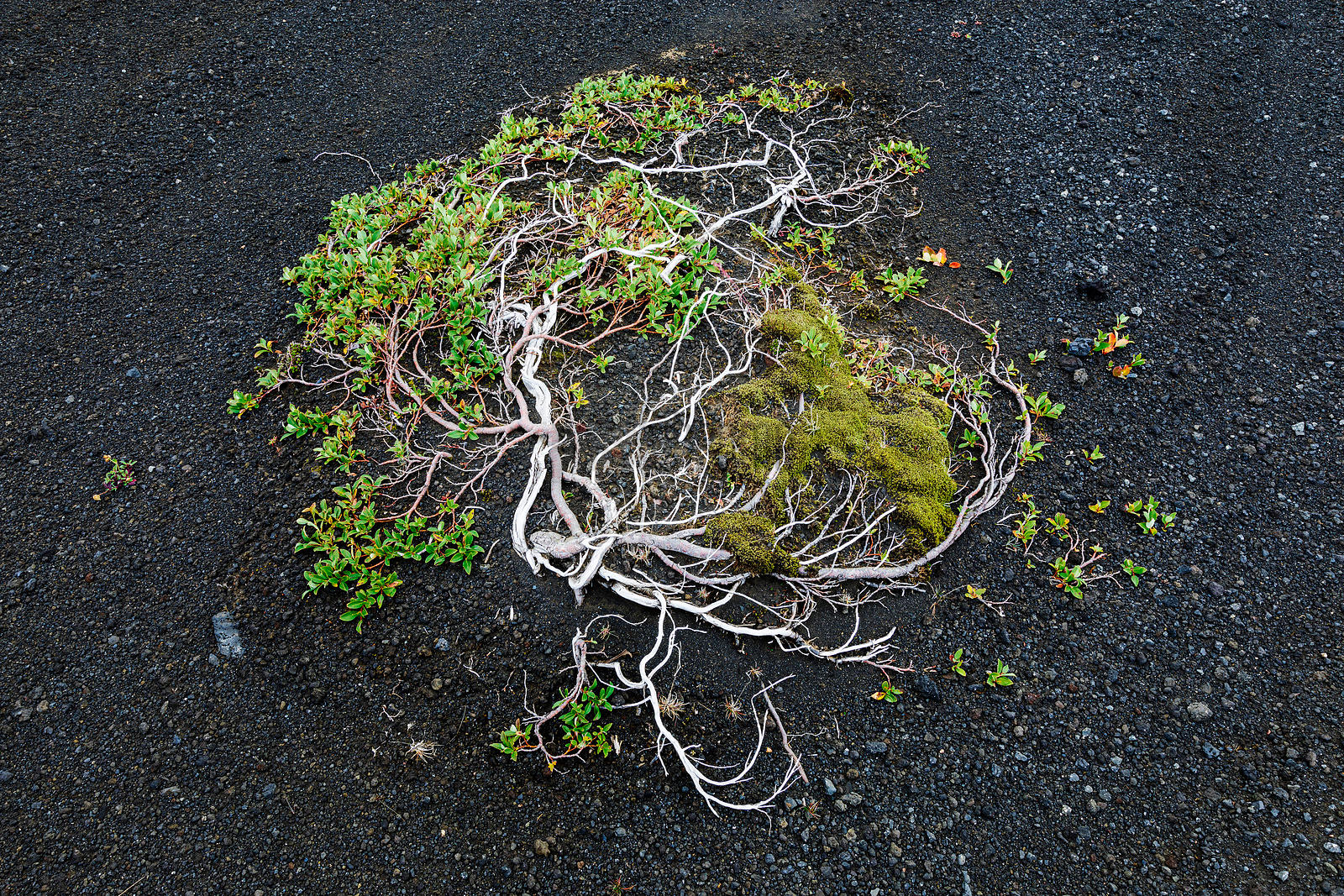 Plant Growing in Volcanic Soil