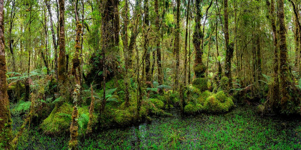 Kahikatea swamp forest at Ship Creek north of Haast, New Zealand.