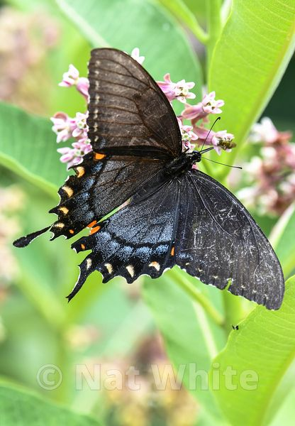 Black_Swallowtail-Filename_number_suffix-_1July_02_2019_