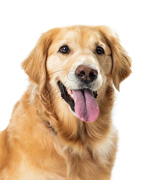 Closeup Happy Golden Retriever Dog Open Mouth