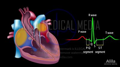 EKG and electrical cycle of the heart, unlabeled, loopable.