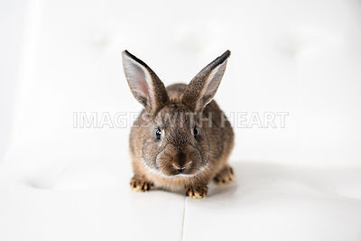 Brown Rabbit Sitting On White Couch Looking At You