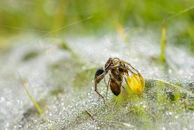 Dew-covered, spiderwebbed grass with flower