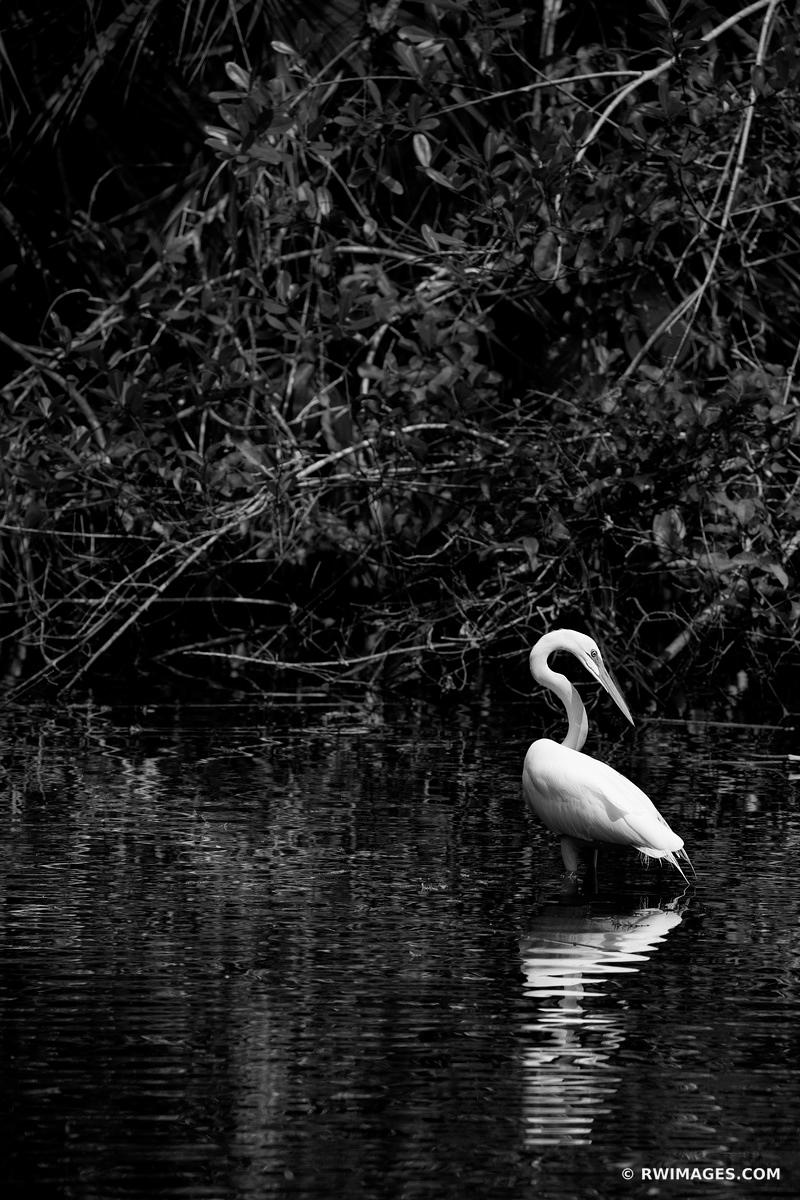 WHITE EGRET BIG CYPRESS BEND FAKAHATCHEE STRAND PRESERVE STATE PARK EVERGLADES FLORIDA BLACK AND WHITE VERTICAL