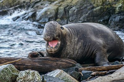 Male Elephant Seal showing its large proboscis and pink tongue.