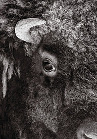 Bison Abstract