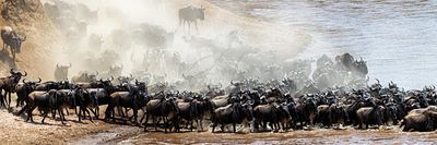 Dusty Scene of Wildebeest Crossing Mara River