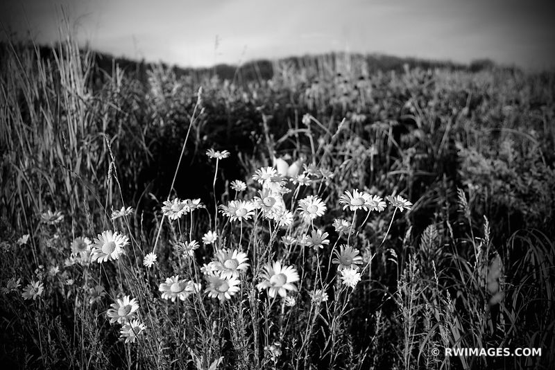 WILDFLOWERS TALLGRASS PRAIRIE SUNSET NORTHERN ILLINOIS BLACK AND WHITE