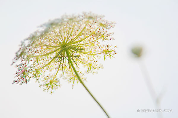 QUEEN ANNE'S LACE PRAIRIE WILDFLOWER SUMMER