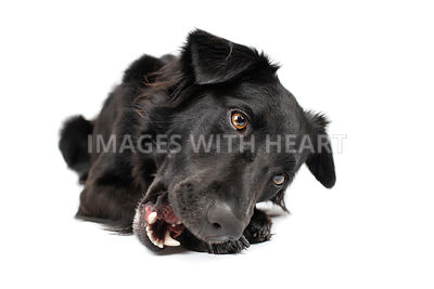 Black dog chewing lying down with open mouth