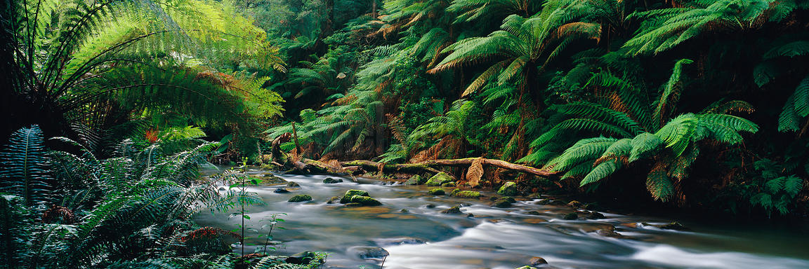 Rainforest Stream and Ferns
