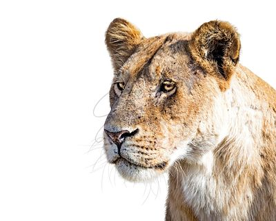 Closeup Lioness Profile Isolated