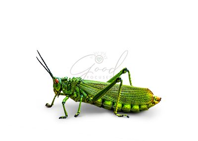 Large Grasshopper Isolated on White