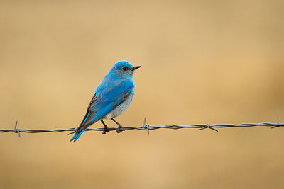 First Bluebird of Spring
