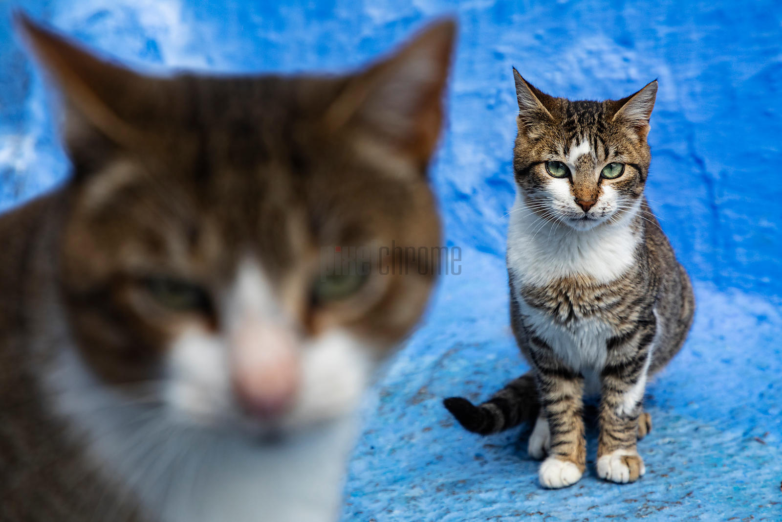 Portrait of Street Cats in Chefchaouen
