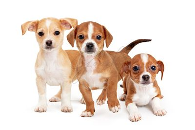Three Cute Mixed Small Breed Puppy Dogs