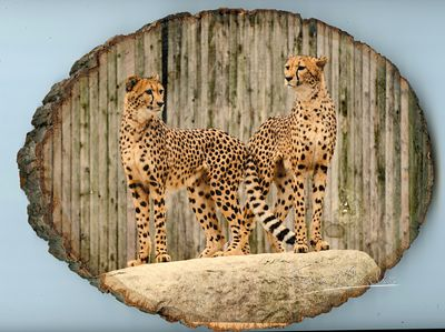 cheetahs_large_wood_350