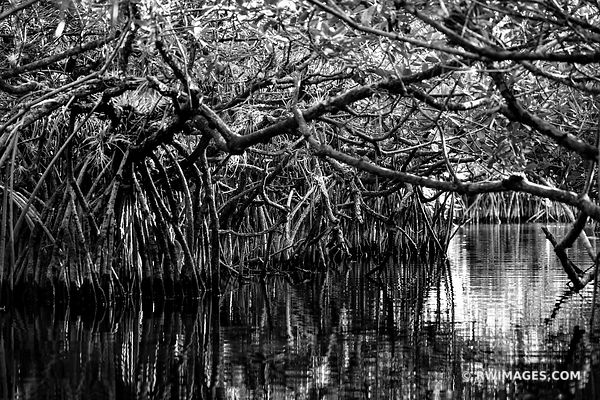TURNER RIVER MANGROVE TUNNEL BIG CYPRESS NATIONAL PRESERVE EVERGLADES FLORIDA BLACK AND WHITE