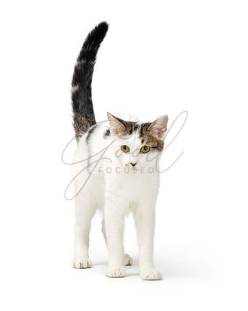 White Cat Tabby Markings Standing on White
