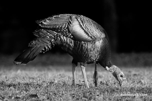 WILD TURKEY CUMBERLAND ISLAND GEORGIA BLACK AND WHITE