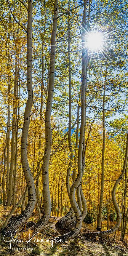 Dancing Aspens No. 12 (Vertical Panoramic), Uncompahgre National Forest, Colorado