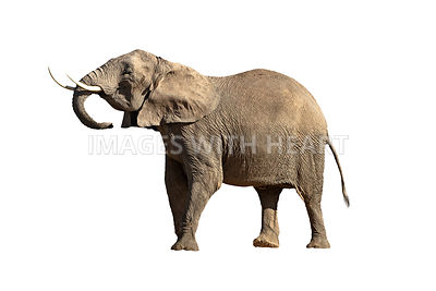 Isolated Large Elephant Head Up Big Tusks