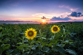 Sunflowers and Field