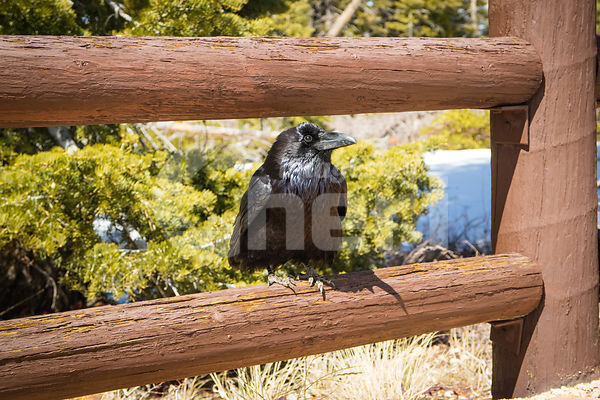 An American Crow in Bryce Canyon National Park, Utah