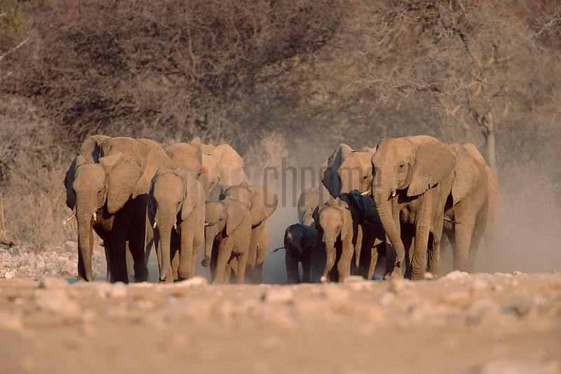 Herd of Elephants Running to a Waterhole