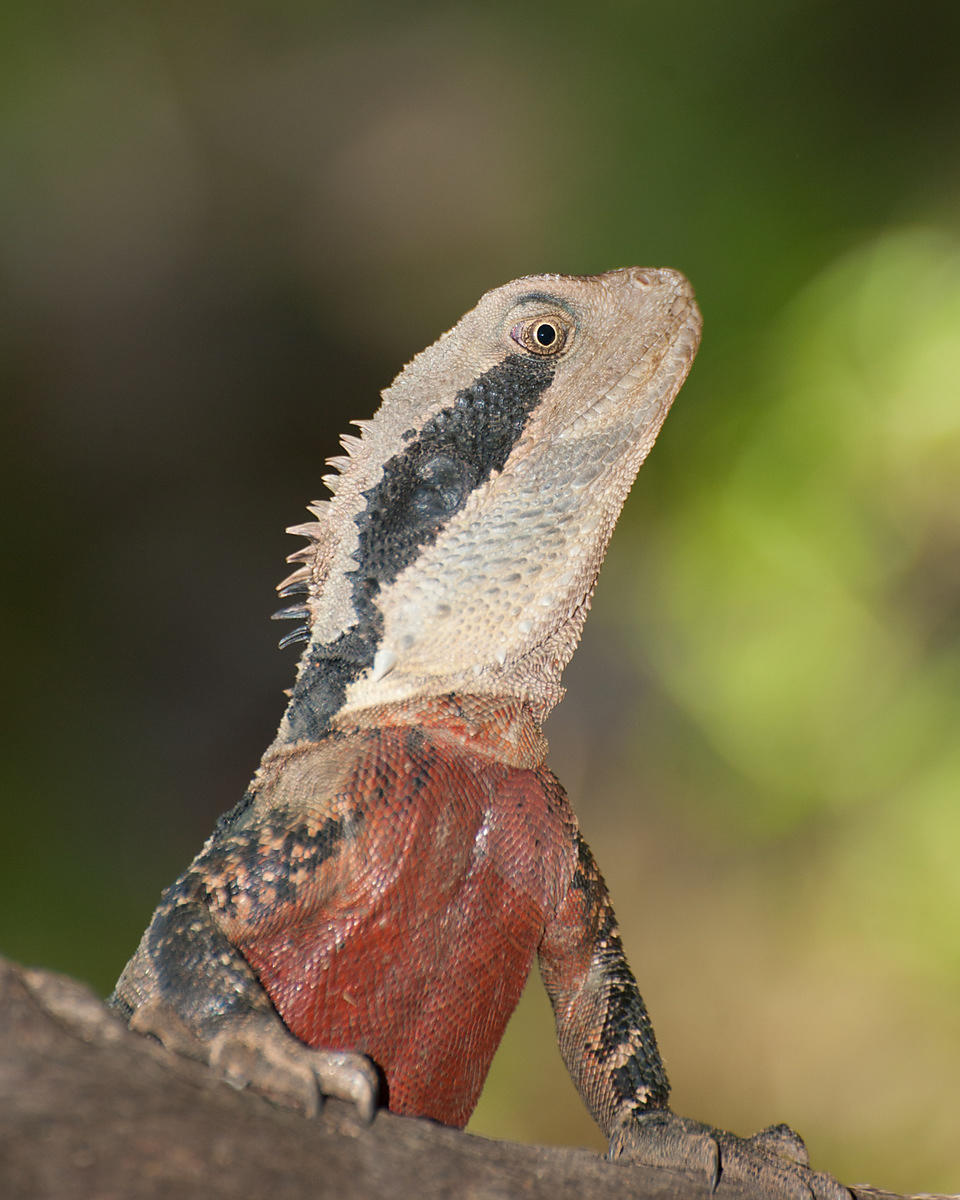 Eastern_Water_Dragon-3