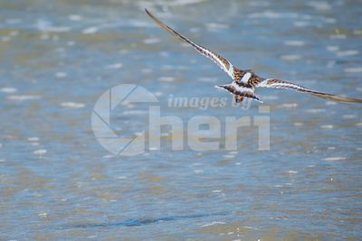 A Rudy Turnstone Bird in Padre Island NS, Texas
