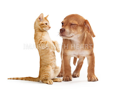 Funny Puppy Scowling at Playful Kitten