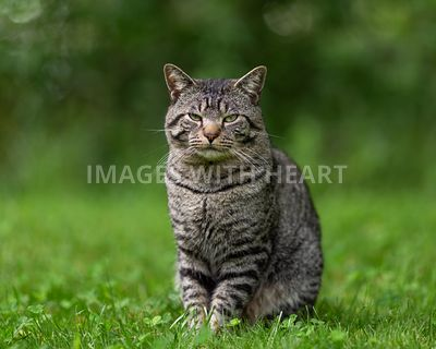 Handsome brown tabby cat sitting in grass