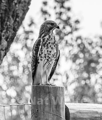 Red-shouldered_hawk-B_W_Date_(Month_DD_YYYY)1_800_sec_at_f_9.0_NAT_WHITE