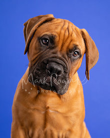 Studio Photo of Bull Mastiff Puppy Tilting Head on Blue