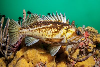 Gravid Copper Rockfish, Sebastes caurinus, swimming at Steep Island, Discovery Passage.