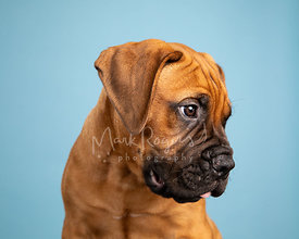 Studio Photo of Bull Mastiff Puppy Looking Right on Light Blue