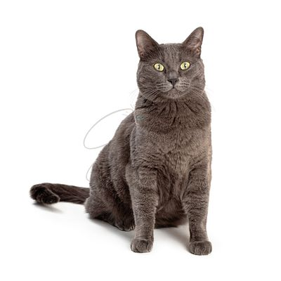 Grey Domestic Shorthair Cat Sitting Looking Forward